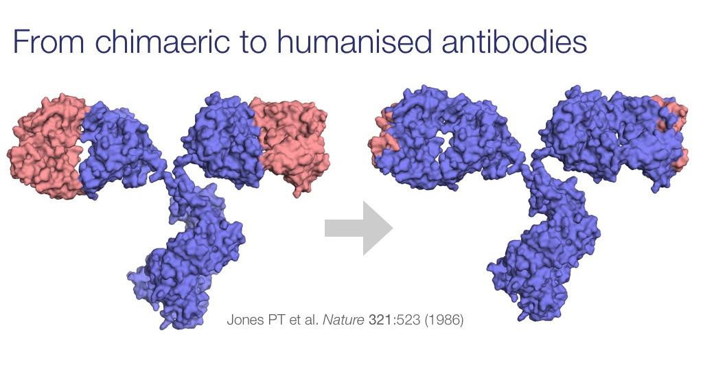 Antibody Humanization Techniques | Custom Antibody Services